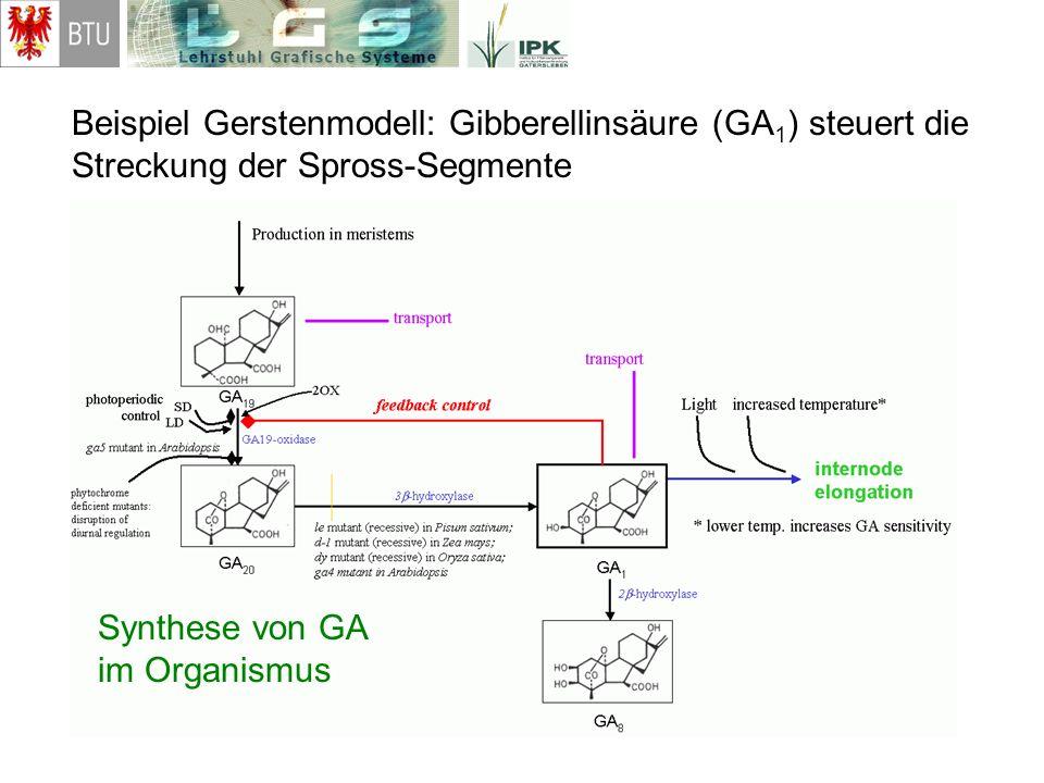 Beispiel Gerstenmodell: Gibberellinsäure (GA 1 ) steuert die Streckung der Spross-Segmente Synthese von GA im Organismus
