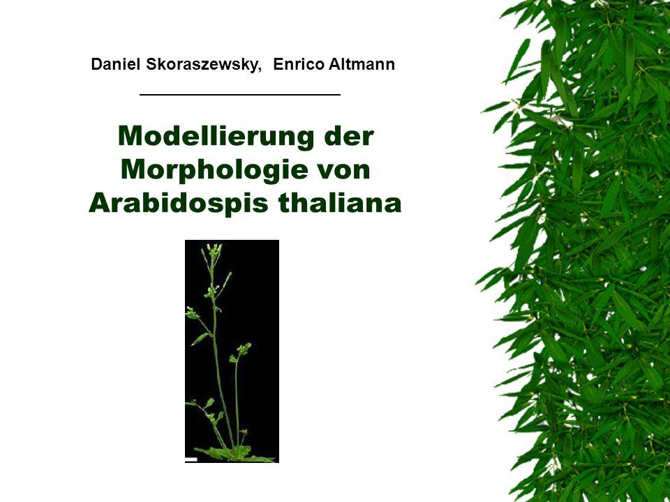 Modellierung der Morphologie von Arabidospis thaliana Daniel Skoraszewsky, Enrico Altmann