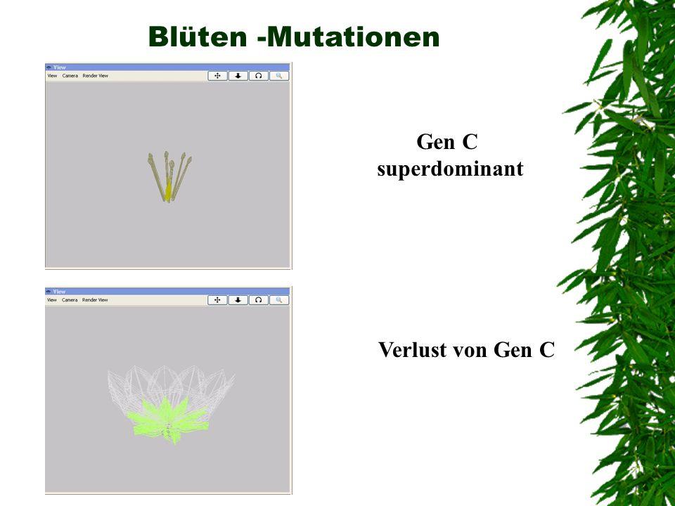 Blüten -Mutationen Gen C superdominant Verlust von Gen C