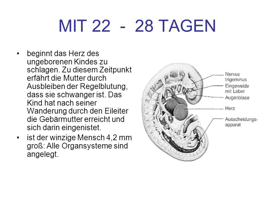MIT 22 - 28 TAGEN beginnt das Herz des ungeborenen Kindes zu schlagen. Zu diesem Zeitpunkt erfährt die Mutter durch Ausbleiben der Regelblutung, dass