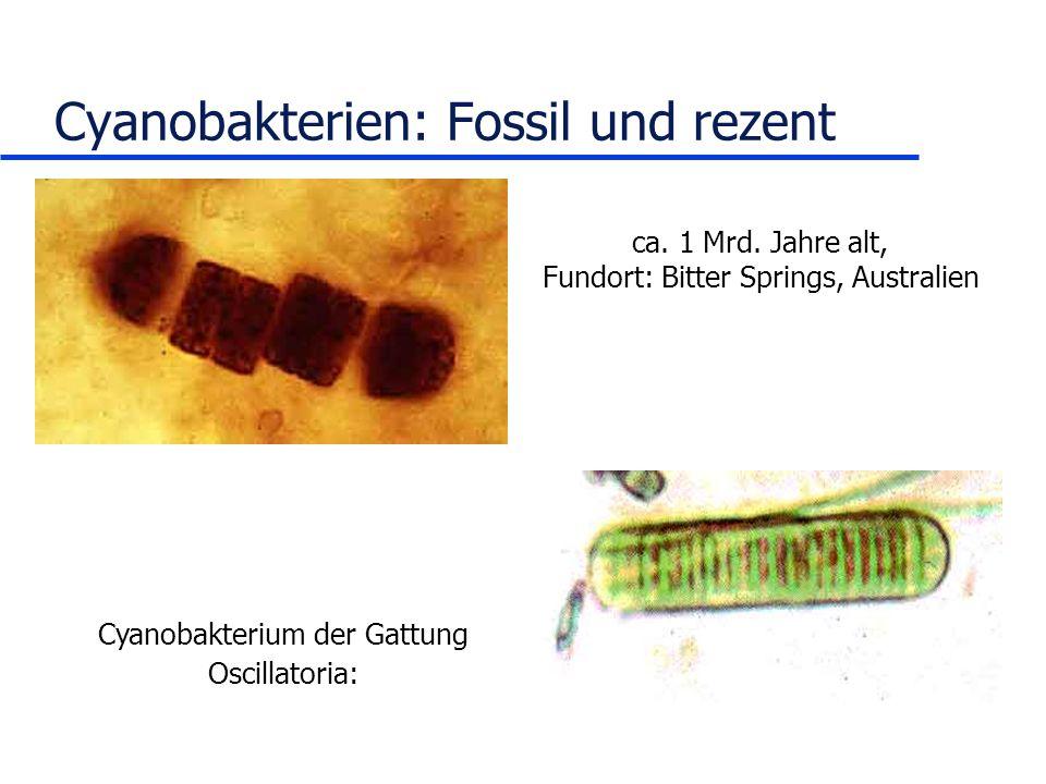 Cyanobakterien: Fossil und rezent ca. 1 Mrd. Jahre alt, Fundort: Bitter Springs, Australien Cyanobakterium der Gattung Oscillatoria: