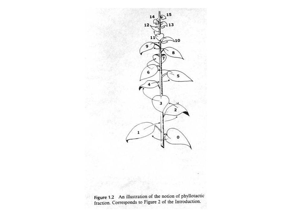 Beispiel für Spiralen: Berberitze Definition des Divergenzwinkels Jeder 14.