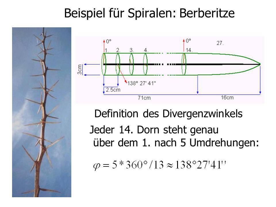 Beispiel für Spiralen: Berberitze Definition des Divergenzwinkels Jeder 14. Dorn steht genau über dem 1. nach 5 Umdrehungen: