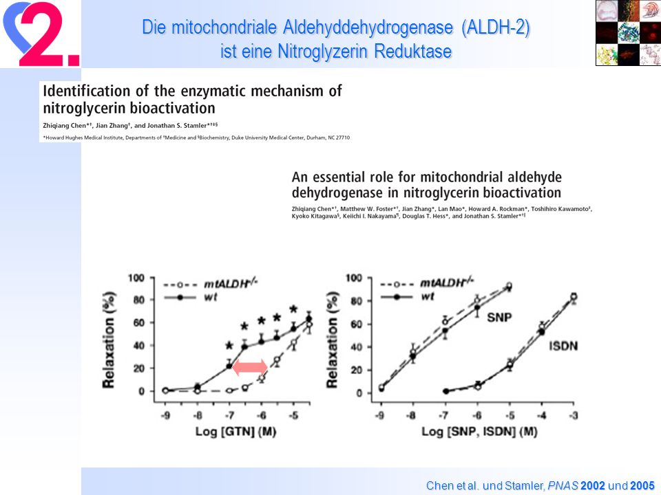 Mn-SOD +/- Mäuse sind anfälliger für eine Nitrattoleranz und Kreuztoleranz (endotheliale Dysfunktion) als Kontroll-Tiere Superoxide-induced DHE fluorescence (red) Wt, Wild type; +/-, Mn-SOD +/- Autofluorescence of laminae (green) 2 O 2 – Daiber, … and Münzel, Mol.