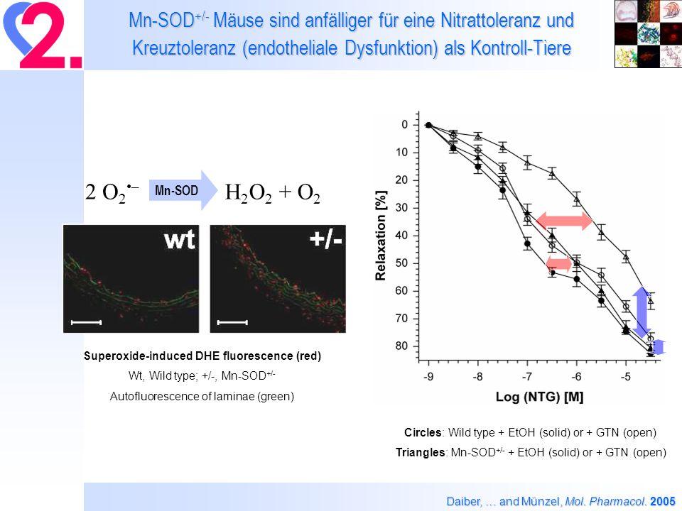 Effekte einer in vivo Co-Therapie mit Liponsäure auf die Nitroglyzerin-induzierte klinische Toleranz in Ratten Dudek et al., Eur.