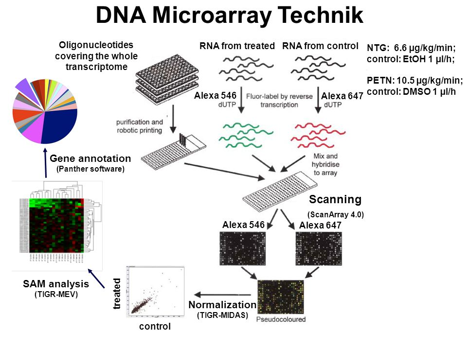 DNA Microarray Technik RNA from controlRNA from treated Alexa 647 Alexa 546 Oligonucleotides covering the whole transcriptome Alexa 647 Alexa 546 control treated NTG: 6.6 µg/kg/min; control: EtOH 1 µl/h; PETN: 10.5 µg/kg/min; control: DMSO 1 µl/h Normalization (TIGR-MIDAS) SAM analysis (TIGR-MEV) Gene annotation (Panther software) Scanning (ScanArray 4.0)