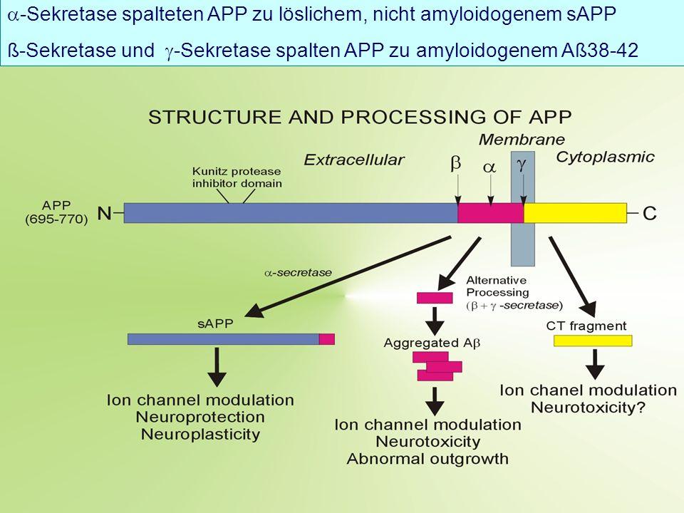 -Sekretase spalteten APP zu löslichem, nicht amyloidogenem sAPP ß-Sekretase und -Sekretase spalten APP zu amyloidogenem Aß38-42