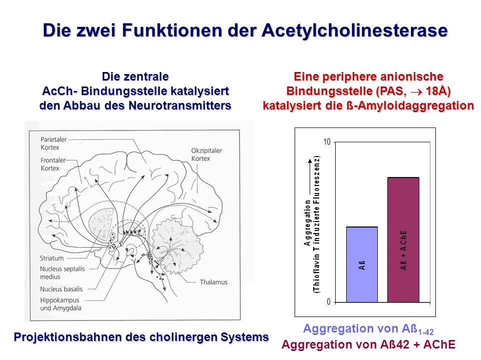 Aggregation von Aß 1-42 Aggregation von Aß42 + AChE Projektionsbahnen des cholinergen Systems Eine periphere anionische Bindungsstelle (PAS, 18Å) katalysiert die ß-Amyloidaggregation Die zentrale AcCh- Bindungsstelle katalysiert den Abbau des Neurotransmitters Die zwei Funktionen der Acetylcholinesterase