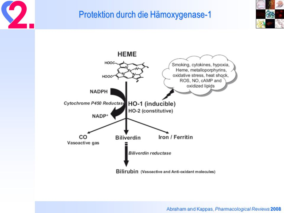 Protektion durch die Hämoxygenase-1 Abraham and Kappas, Pharmacological Reviews 2008 ?