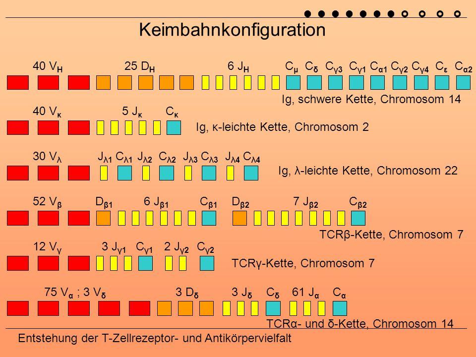 Entstehung der T-Zellrezeptor- und Antikörpervielfalt Theoretisch mögliche Diversität AntikörperT-Zell-Rezeptor leichte Ketten schwere Kette [α]- Kette [β]- Kette [γ]- Kette [δ]- Kette variable (V)403040~7052124 diversity (D)00250203 joining (J)546611353 Verschiedene Ketten 2001206 0004 2001 3526036 kombinatorische Diversität ~2·10 6 ~5,8·10 6 2160 mit junktionaler Diversität ~10 13 ~10 18