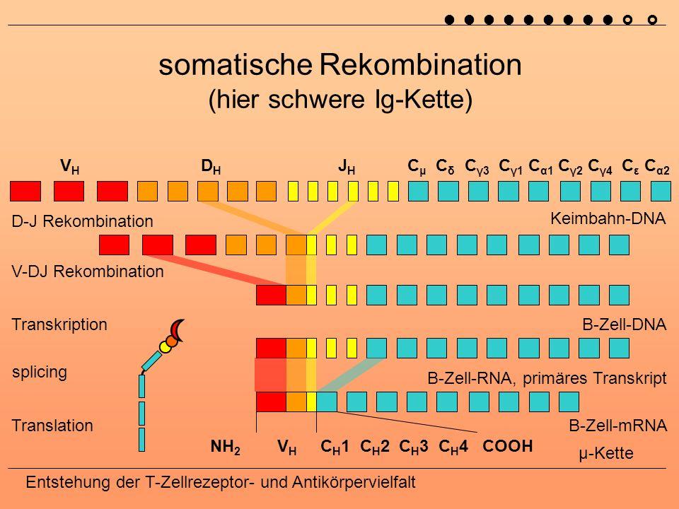 Entstehung der T-Zellrezeptor- und Antikörpervielfalt somatische Rekombination Exzisionszirkel (Alter der Population) 7799 1223 VλVλ JλJλ Keimbahn-DNA B-Zell-DNA, leichte λ-Kette RAG1, RAG2 (recombination activating gene) junktionale Diversität terminale Desoxynucleotidyltransferase Exonuclease