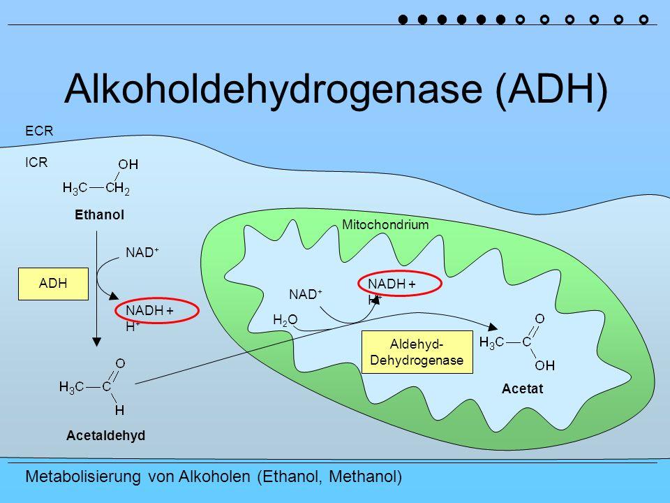 Metabolisierung von Alkoholen (Ethanol, Methanol) Alkoholdehydrogenase (ADH) ICR ECR ADH Ethanol Acetat Acetaldehyd Aldehyd- Dehydrogenase NAD + NADH + H + NAD + NADH + H + Mitochondrium H2OH2O