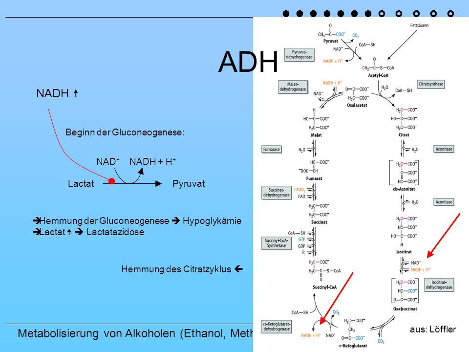 Metabolisierung von Alkoholen (Ethanol, Methanol) ADH NADH Beginn der Gluconeogenese: LactatPyruvat NAD + NADH + H + Hemmung der Gluconeogenese Hypoglykämie Lactat Lactatazidose Hemmung des Citratzyklus aus: Löffler