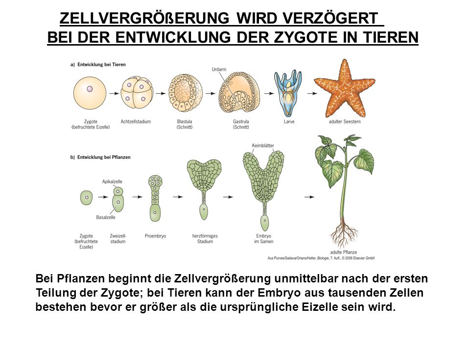 ZELLVERGRÖßERUNG WIRD VERZÖGERT BEI DER ENTWICKLUNG DER ZYGOTE IN TIEREN Bei Pflanzen beginnt die Zellvergrößerung unmittelbar nach der ersten Teilung