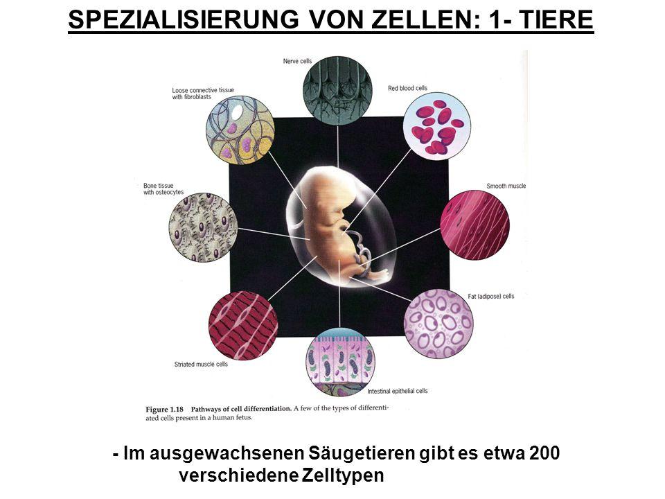 SPEZIALISIERUNG VON ZELLEN: 1- TIERE - Im ausgewachsenen Säugetieren gibt es etwa 200 verschiedene Zelltypen