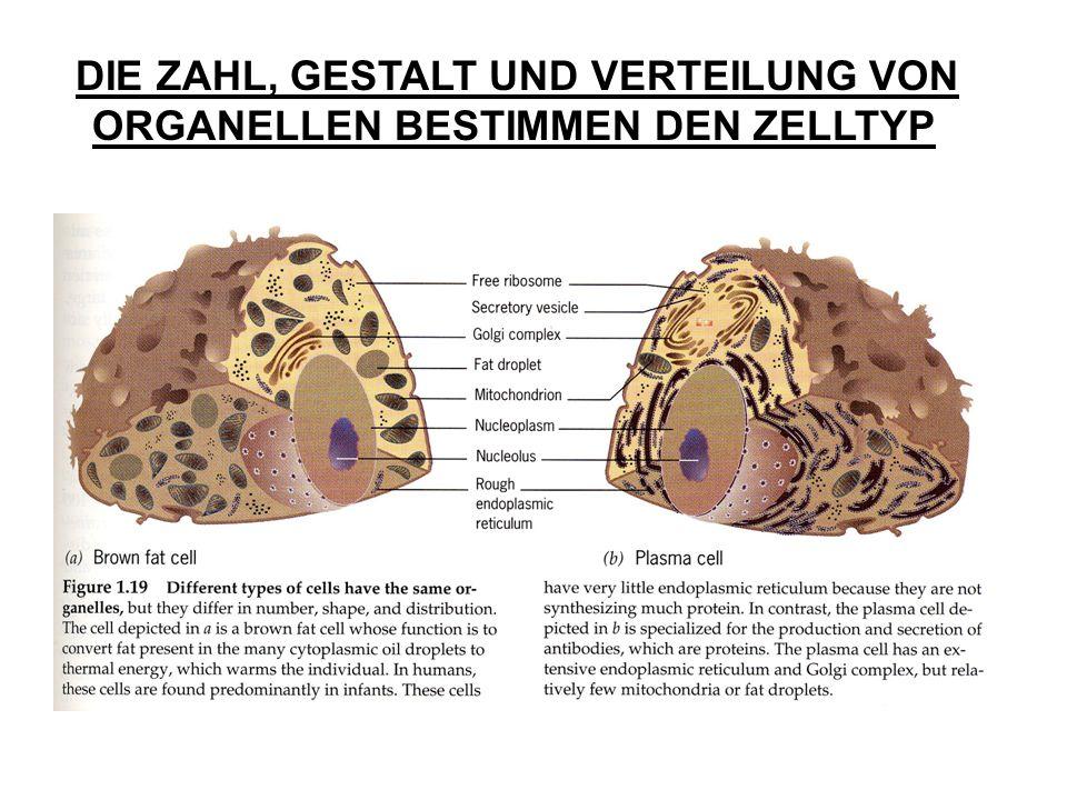 DIE ZAHL, GESTALT UND VERTEILUNG VON ORGANELLEN BESTIMMEN DEN ZELLTYP