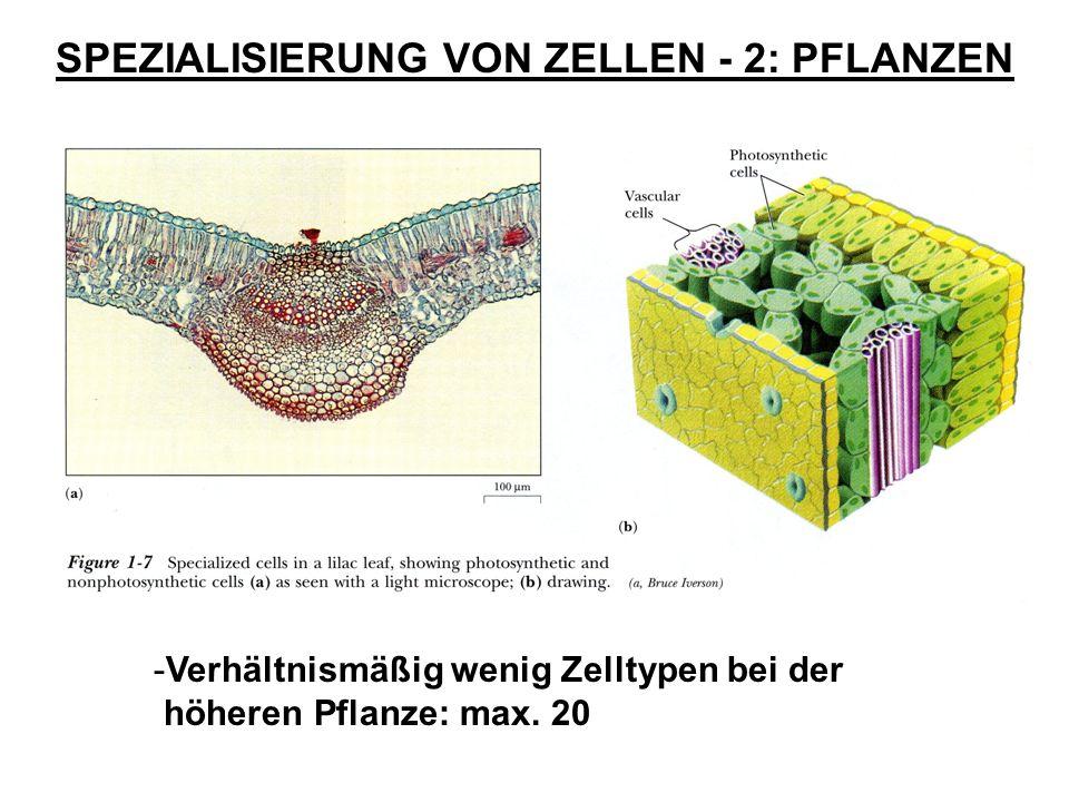 SPEZIALISIERUNG VON ZELLEN - 2: PFLANZEN -Verhältnismäßig wenig Zelltypen bei der höheren Pflanze: max. 20