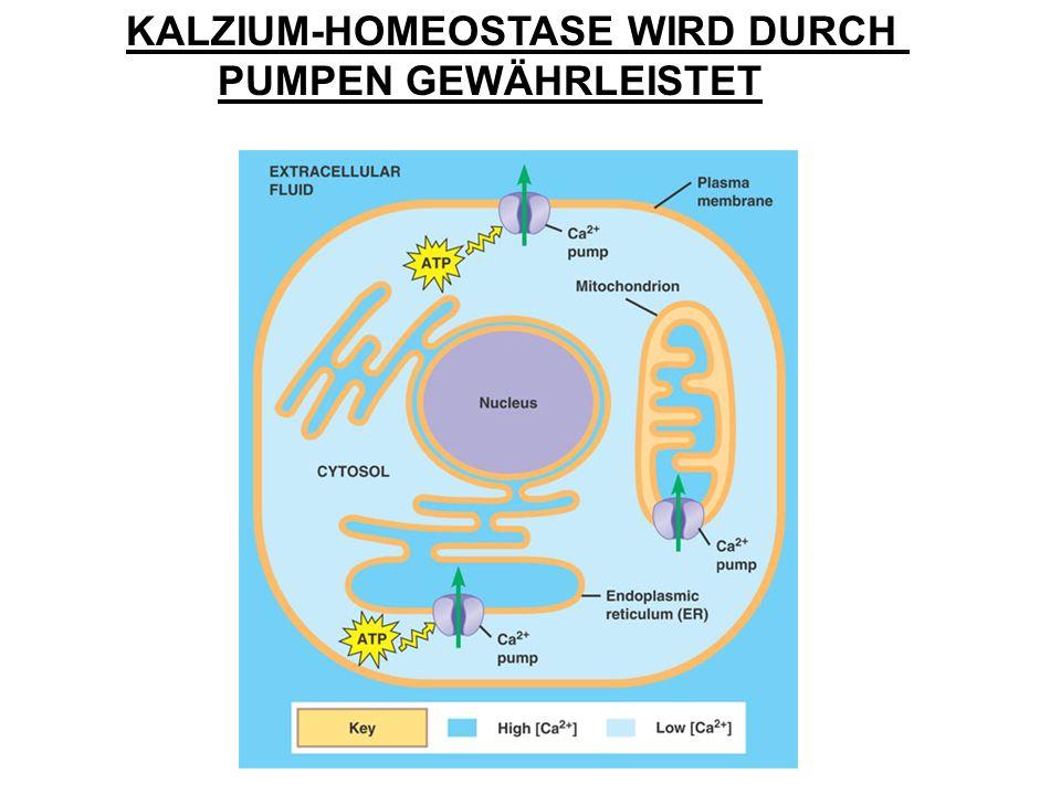 KALZIUM-HOMEOSTASE WIRD DURCH PUMPEN GEWÄHRLEISTET