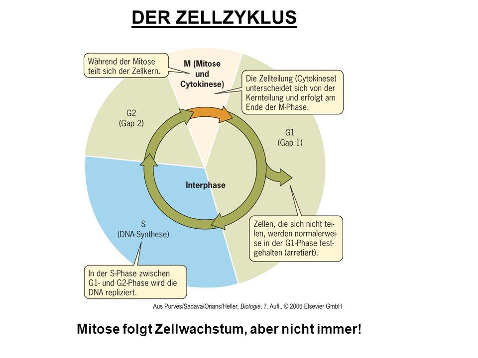 DER ZELLZYKLUS Mitose folgt Zellwachstum, aber nicht immer!