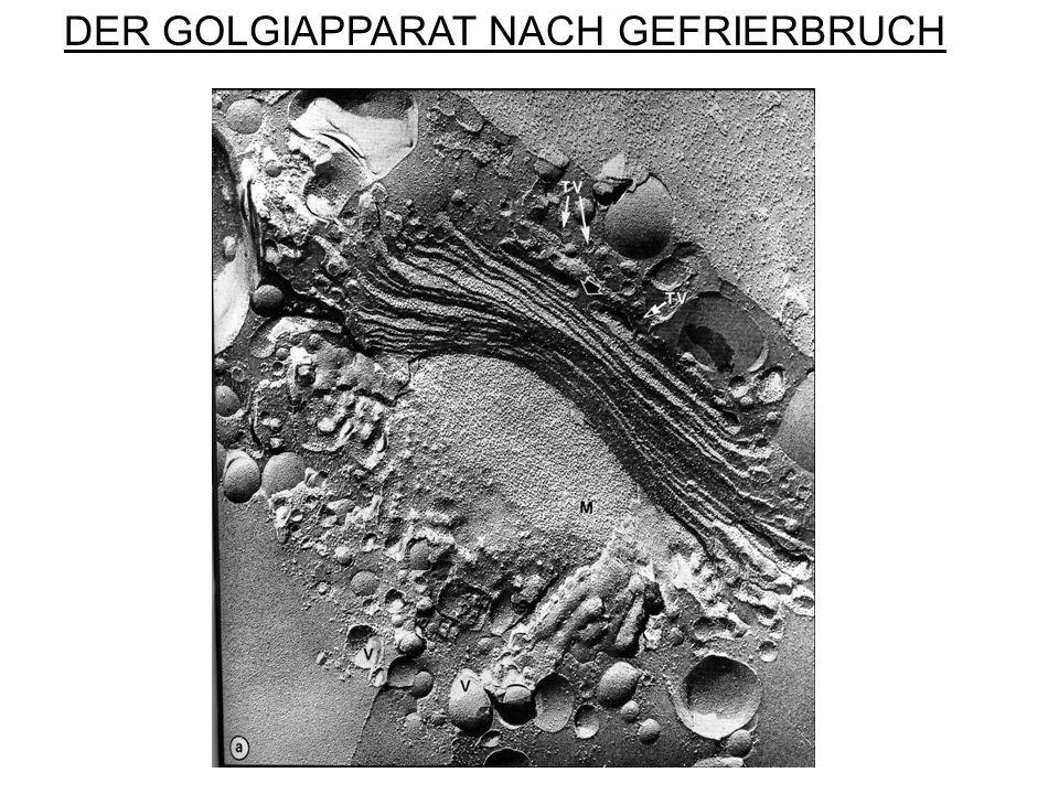 DER GOLGIAPPARAT NACH GEFRIERBRUCH