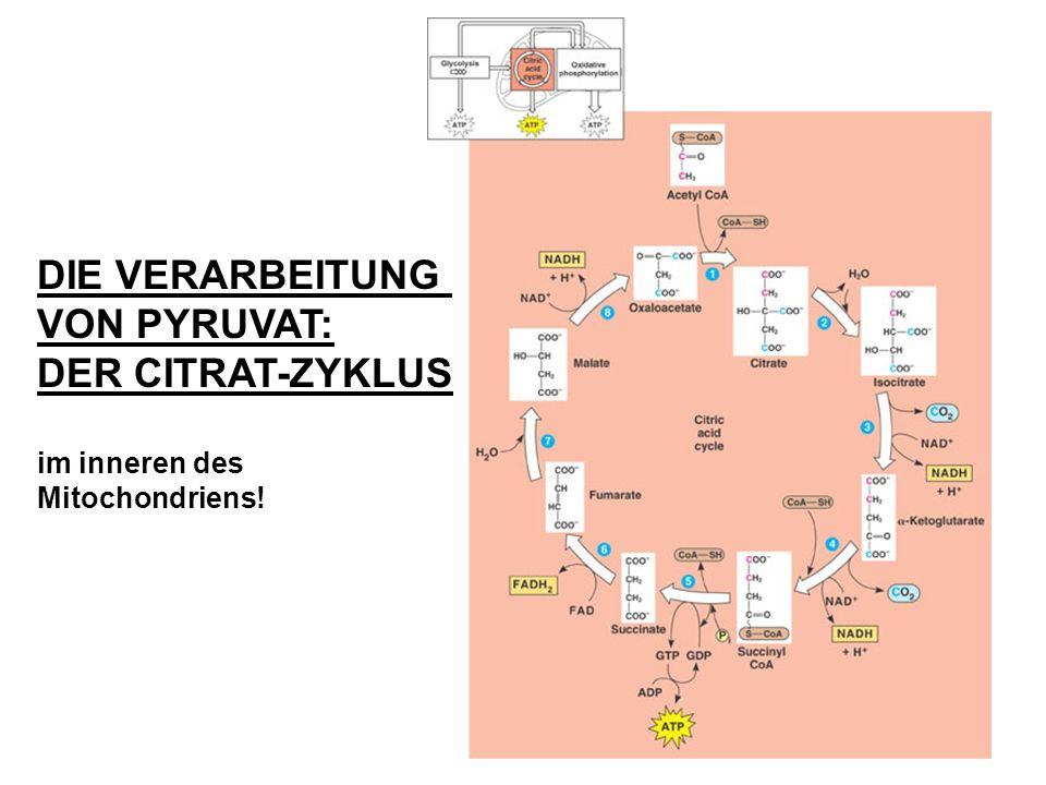 DIE VERARBEITUNG VON PYRUVAT: DER CITRAT-ZYKLUS im inneren des Mitochondriens!