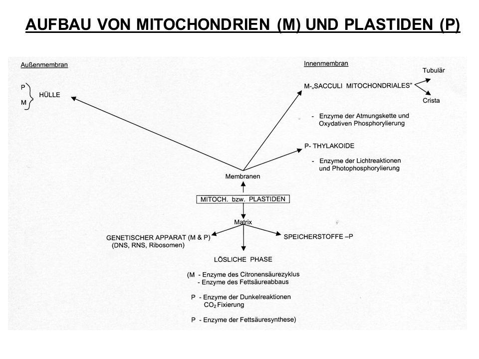 AUFBAU VON MITOCHONDRIEN (M) UND PLASTIDEN (P)