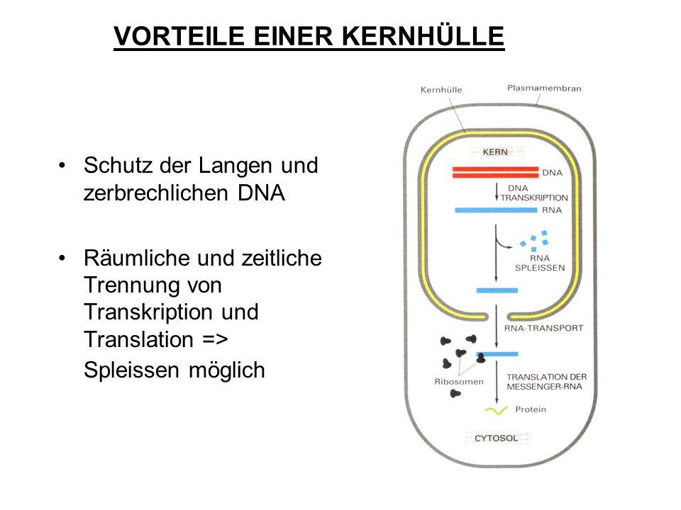 Schutz der Langen und zerbrechlichen DNA Räumliche und zeitliche Trennung von Transkription und Translation => Spleissen möglich VORTEILE EINER KERNHÜ