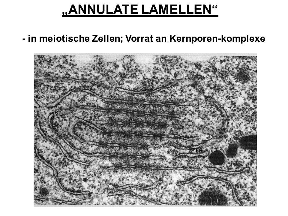 ANNULATE LAMELLEN - in meiotische Zellen; Vorrat an Kernporen-komplexe