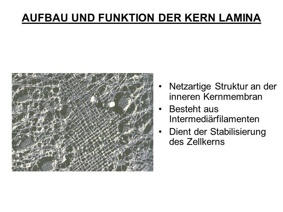 Netzartige Struktur an der inneren Kernmembran Besteht aus Intermediärfilamenten Dient der Stabilisierung des Zellkerns AUFBAU UND FUNKTION DER KERN L