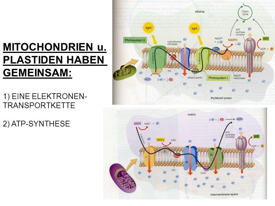 MITOCHONDRIEN u. PLASTIDEN HABEN GEMEINSAM: 1) EINE ELEKTRONEN- TRANSPORTKETTE 2) ATP-SYNTHESE