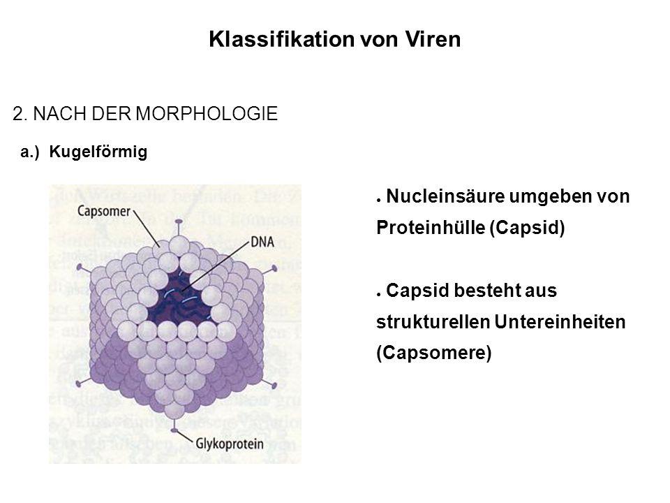 Klassifikation von Viren 2.
