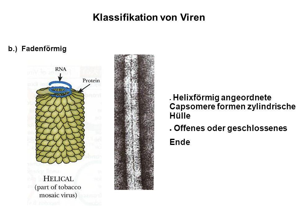 Klassifikation von Viren Helixförmig angeordnete Capsomere formen zylindrische Hülle Offenes oder geschlossenes Ende b.) Fadenförmig