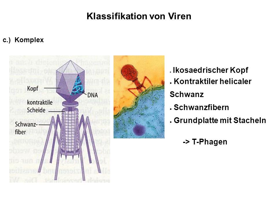 Klassifikation von Viren Ikosaedrischer Kopf Kontraktiler helicaler Schwanz Schwanzfibern Grundplatte mit Stacheln -> T-Phagen c.) Komplex