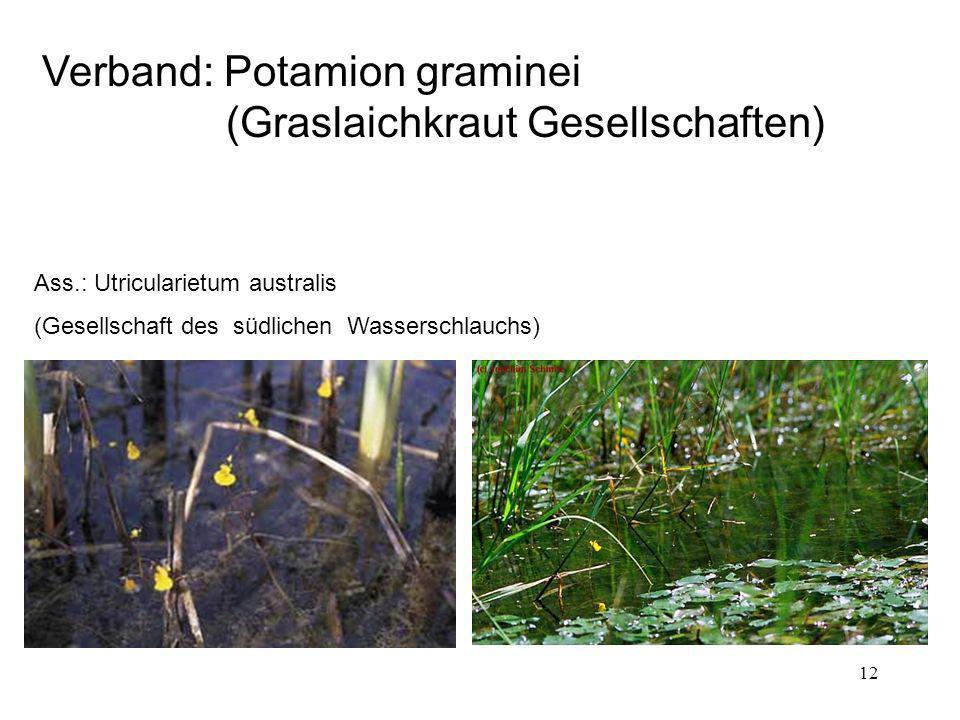 12 Verband: Potamion graminei (Graslaichkraut Gesellschaften) Ass.: Utricularietum australis (Gesellschaft des südlichen Wasserschlauchs)
