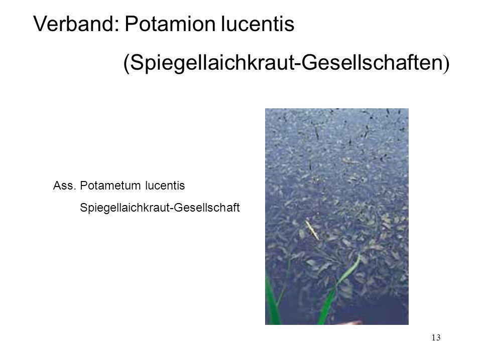 13 Verband: Potamion lucentis (Spiegellaichkraut-Gesellschaften ) Ass. Potametum lucentis Spiegellaichkraut-Gesellschaft