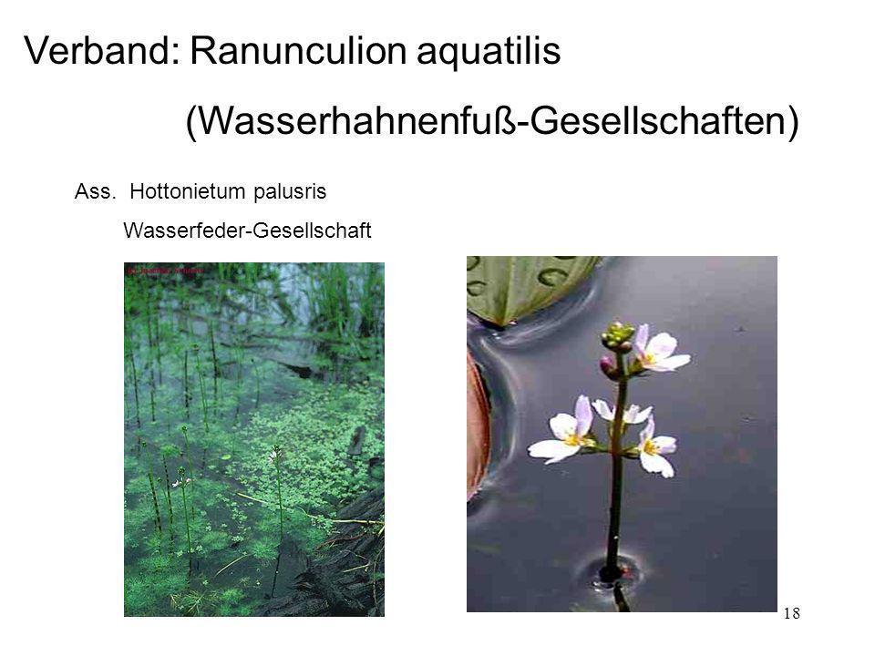 18 Verband: Ranunculion aquatilis (Wasserhahnenfuß-Gesellschaften) Ass. Hottonietum palusris Wasserfeder-Gesellschaft