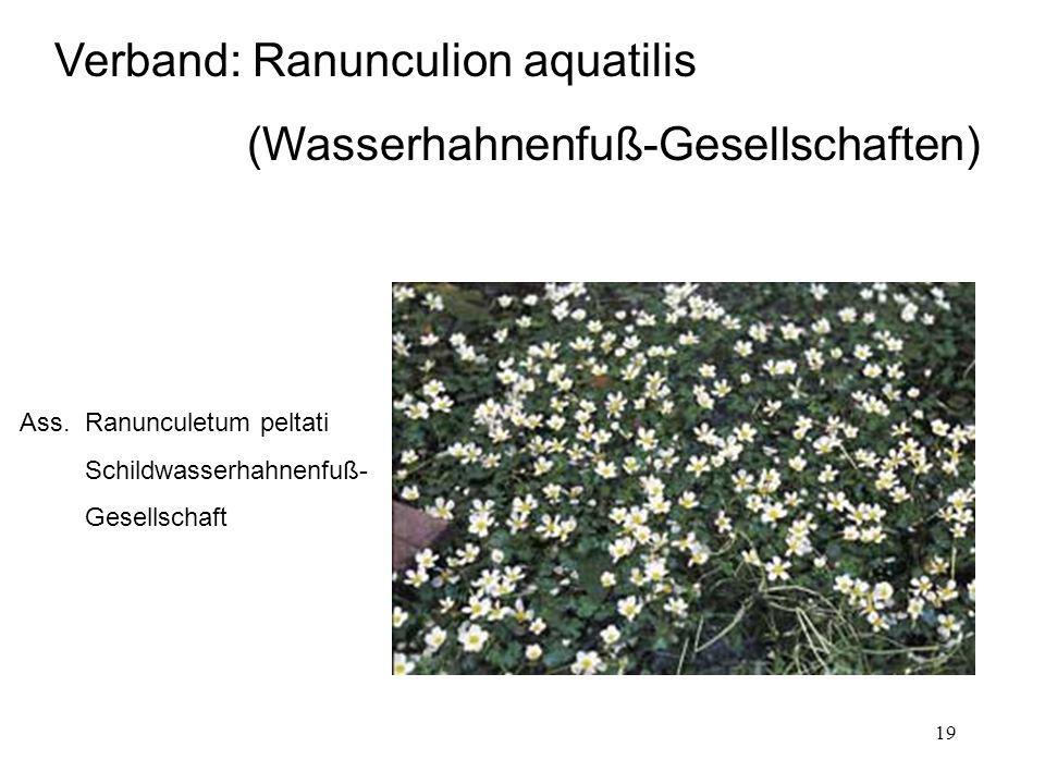 19 Ass. Ranunculetum peltati Schildwasserhahnenfuß- Gesellschaft Verband: Ranunculion aquatilis (Wasserhahnenfuß-Gesellschaften)