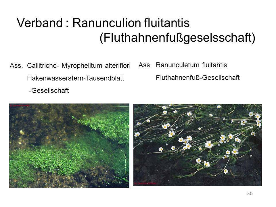 20 Verband : Ranunculion fluitantis (Fluthahnenfußgeselsschaft) Ass. Callitricho- Myrophelltum alteriflori Hakenwasserstern-Tausendblatt -Gesellschaft