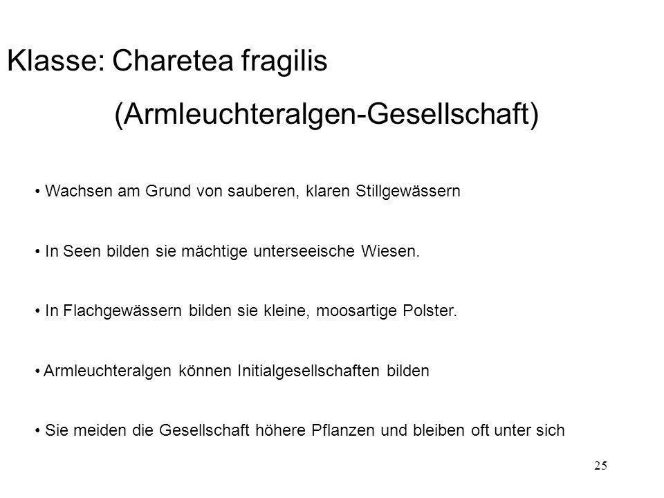 25 Klasse: Charetea fragilis (Armleuchteralgen-Gesellschaft) Wachsen am Grund von sauberen, klaren Stillgewässern In Seen bilden sie mächtige untersee