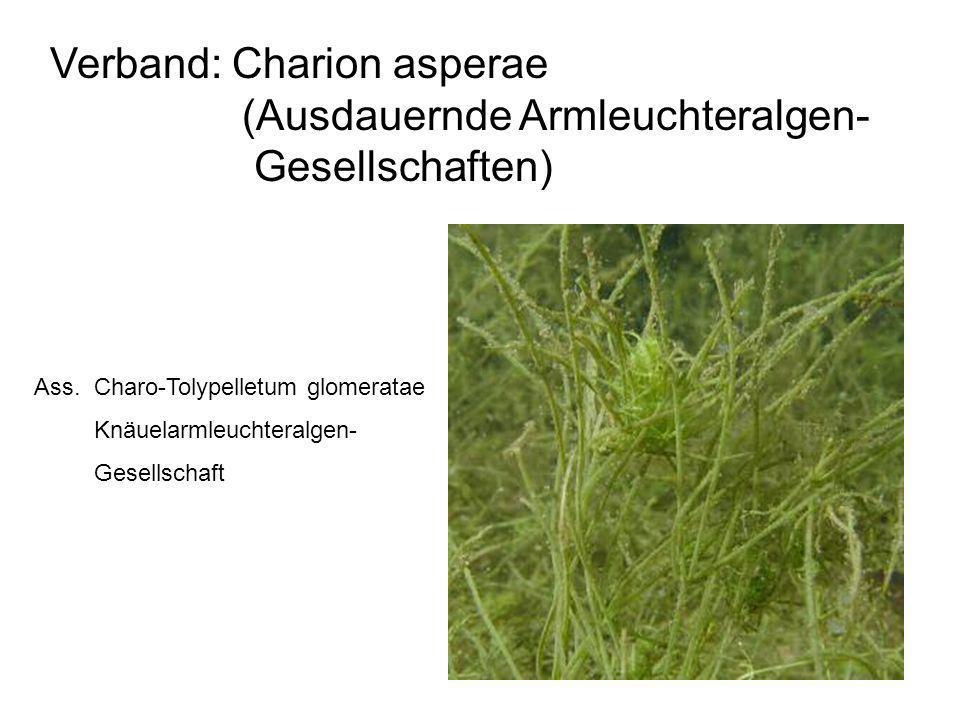 28 Verband: Charion asperae (Ausdauernde Armleuchteralgen- Gesellschaften) Ass. Charo-Tolypelletum glomeratae Knäuelarmleuchteralgen- Gesellschaft