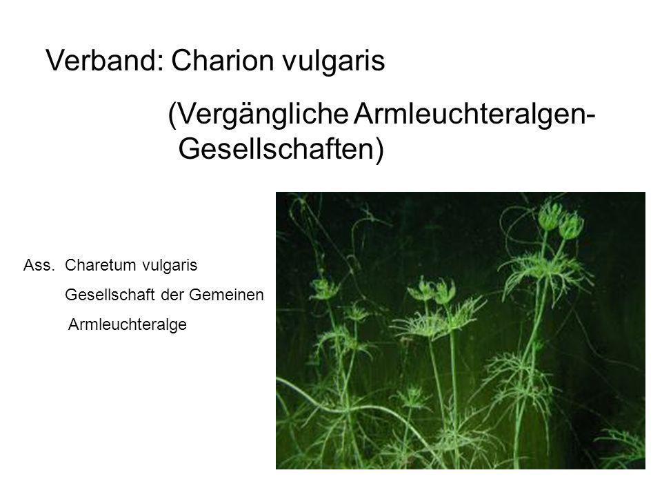 29 Verband: Charion vulgaris (Vergängliche Armleuchteralgen- Gesellschaften) Ass. Charetum vulgaris Gesellschaft der Gemeinen Armleuchteralge