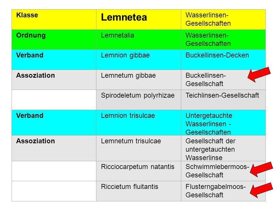 7 Verband: Lemnion gibbae ( Buckellinsen-Decken) Lemnetum gibbae ( Buckellinsen Gesellschaft) Spirodeletum polyrhizae (Teichlinsengesellschaft )