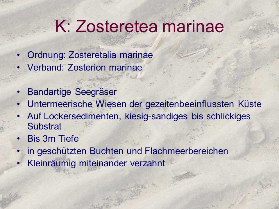 K: Zosteretea marinae Ordnung: Zosteretalia marinae Verband: Zosterion marinae Bandartige Seegräser Untermeerische Wiesen der gezeitenbeeinflussten Kü