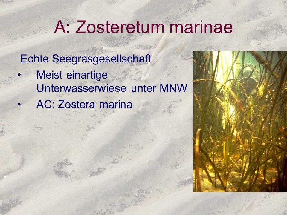 A: Zosteretum marinae Echte Seegrasgesellschaft Meist einartige Unterwasserwiese unter MNW AC: Zostera marina