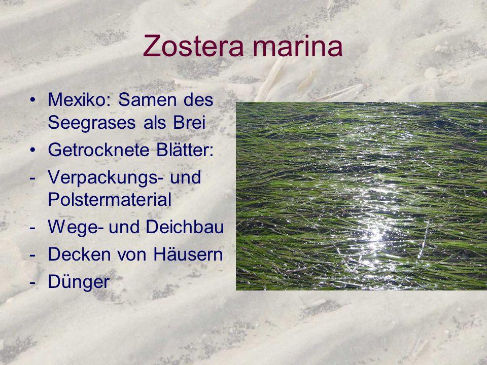 Zostera marina Mexiko: Samen des Seegrases als Brei Getrocknete Blätter: -Verpackungs- und Polstermaterial -Wege- und Deichbau -Decken von Häusern -Dü