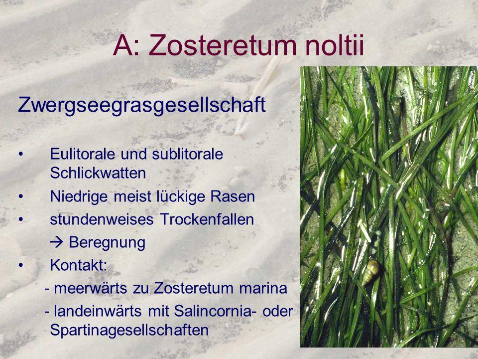 A: Zosteretum noltii Zwergseegrasgesellschaft Eulitorale und sublitorale Schlickwatten Niedrige meist lückige Rasen stundenweises Trockenfallen Beregn