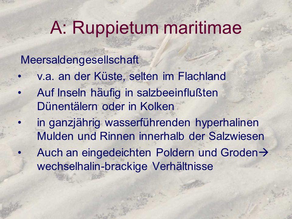 A: Ruppietum maritimae Meersaldengesellschaft v.a. an der Küste, selten im Flachland Auf Inseln häufig in salzbeeinflußten Dünentälern oder in Kolken