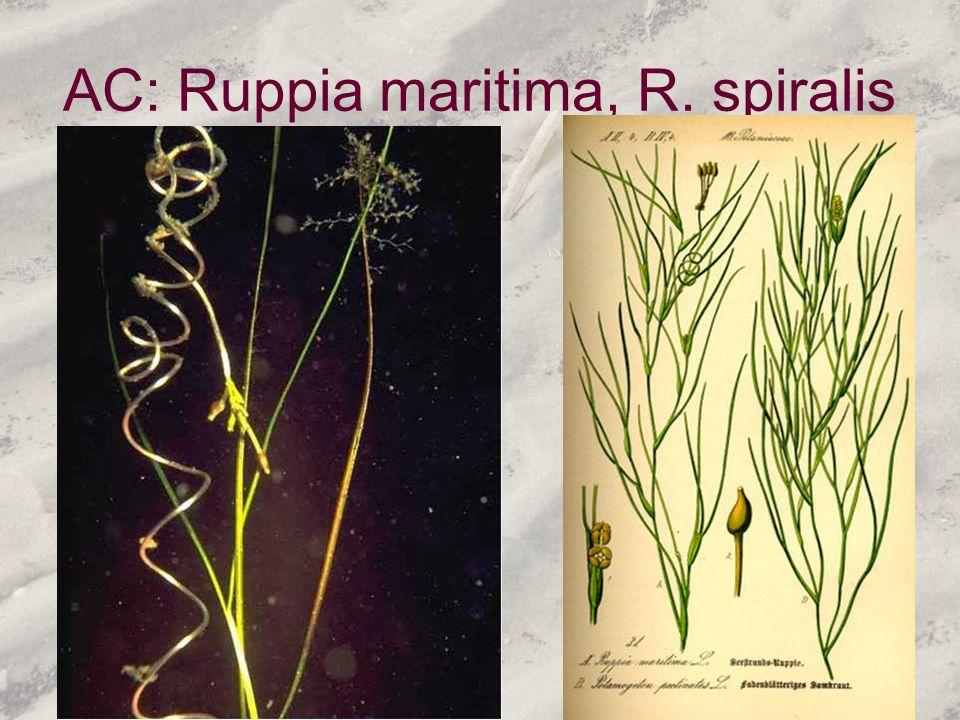 AC: Ruppia maritima, R. spiralis