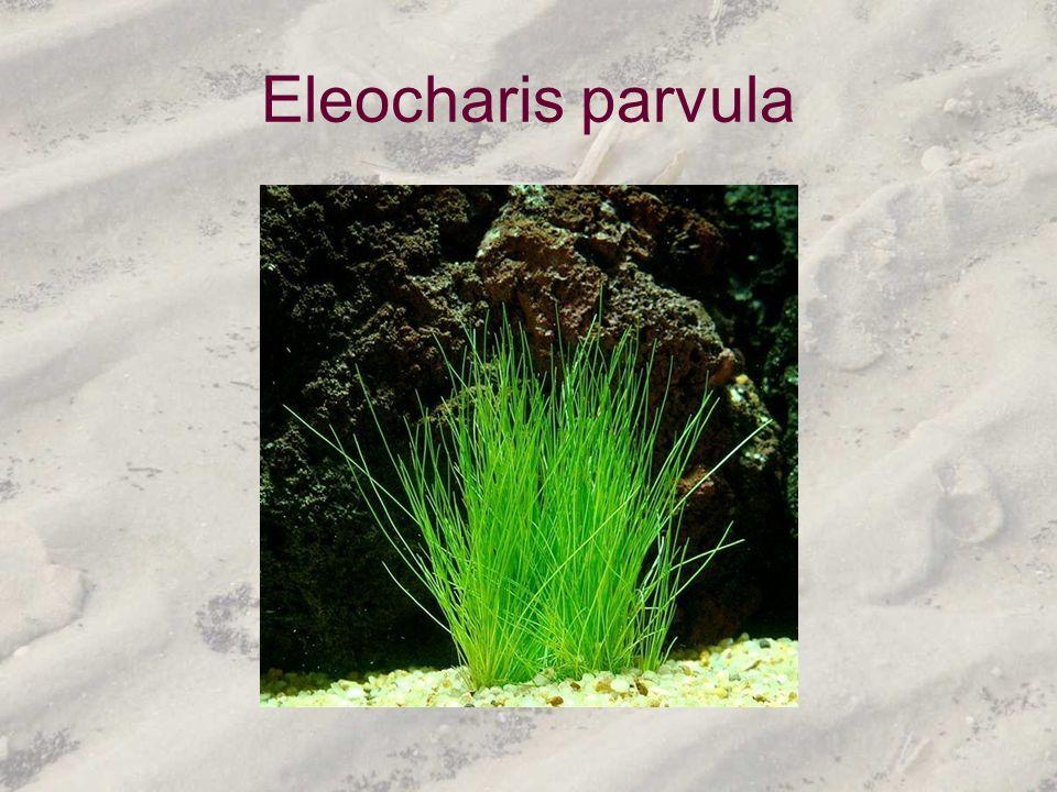 Eleocharis parvula