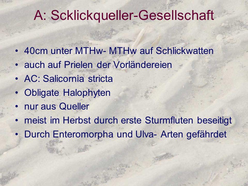 A: Scklickqueller-Gesellschaft 40cm unter MTHw- MTHw auf Schlickwatten auch auf Prielen der Vorländereien AC: Salicornia stricta Obligate Halophyten n